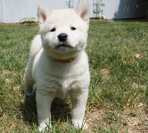 Shiba Inu Puppies | Shiba Inu Puppies by Icewind Shibas