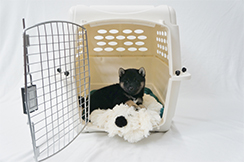 Icewind Shiba Puppy with Snuggle Puppy-2