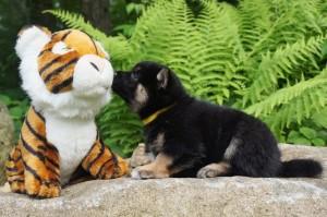 Buying A Shiba Inu Puppy