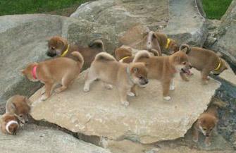 shiba-puppies-rocks