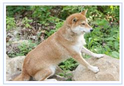 Shiba Inu Rescue Update – August 2009