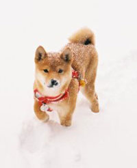 Shiba Paradise Being Off Leash!