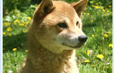 Rescue Shiba Puppy – Sparky