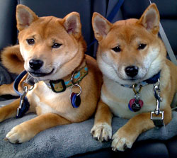 First Time Dog Owner Adopts TWO Shibas!!